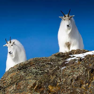 Wildlife Viewing in Alaska and Yukon