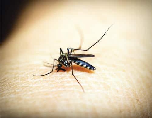Alaska mosquito